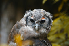 Retrato das corujas Retrato de uma coruja bonita Foto de Stock