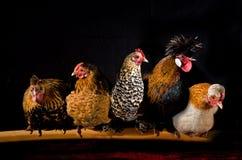 Retrato das galinhas imagem de stock