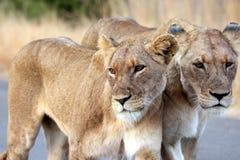 Retrato das leoas Foto de Stock