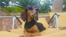 Retrato de óculos de sol vestindo de um cão em um sentimento longo do chaise curioso e feliz para o verão video estoque