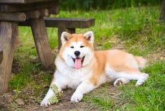 Retrato de akita do japonês na natureza imagens de stock royalty free