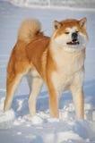 Retrato de Akita Inu Fotografia de Stock Royalty Free