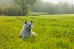Retrato de Akita Inu em um campo de trigo verde no verão foto de stock royalty free
