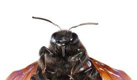 Retrato de Bhanvra del indio (abeja de carpintero violeta) Foto de archivo