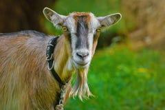 Retrato de Billy Goat Imagem de Stock
