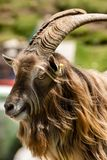 Retrato de Billy Goat - cumes italianos fotografia de stock