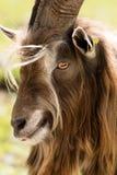 Retrato de Billy Goat - cumes italianos imagem de stock