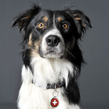 Retrato de border collie em um estúdio cinzento Foto de Stock Royalty Free