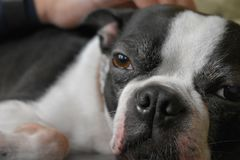 Retrato de Boston Terrier imagen de archivo