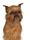 Retrato de Bruxelas Griffon Imagem de Stock