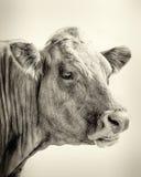 Retrato de Bull Imagem de Stock