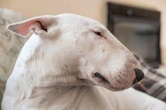 Retrato de bull terrier del inglés fotos de archivo