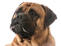 Retrato de Bullmastiff fotografía de archivo