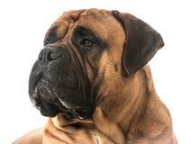 Retrato de Bullmastiff foto de archivo