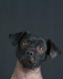 Retrato de cão de cachorrinho peruano misturado com cópia Imagem de Stock