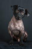 Retrato de cão peruano misturado foto de stock