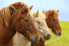 Retrato de caballos islandeses criados en línea pura Fotos de archivo