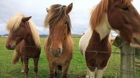 Retrato de caballos islandeses hermosos almacen de video