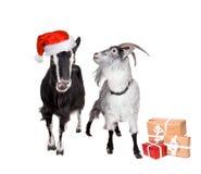 Retrato de cabras en sombrero de la Navidad en blanco Foto de archivo libre de regalías