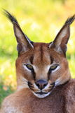 Retrato de Caracal Foto de Stock