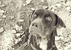 Retrato de Catahoula en blanco y negro Foto de archivo libre de regalías