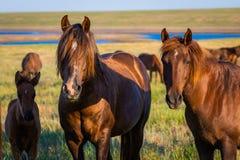 Retrato de cavalos selvagens nos animais selvagens Imagens de Stock