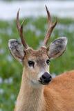 Retrato de cervos do pântano Imagem de Stock Royalty Free