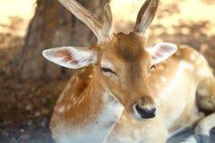 Retrato de cervos dos chifres imagem de stock royalty free