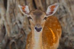 Retrato de cervos dos chifres fotos de stock royalty free