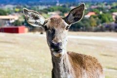 Retrato de cervos fêmeas Imagem de Stock