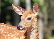 Retrato de cervos novos Imagens de Stock