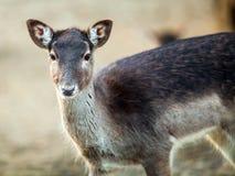 Retrato de cervos pequenos bonitos, fim acima Imagem de Stock