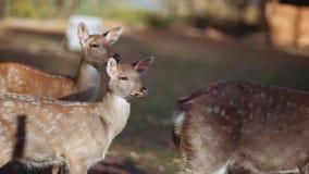 Retrato de cervos pequenos da jovem corça na área reservado em um dia ensolarado Território da reserva, natureza pura Animais sel vídeos de arquivo