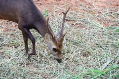 Retrato de ciervos Foto de archivo libre de regalías