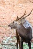 Retrato de ciervos Imagenes de archivo