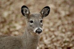 Retrato de ciervos jovenes Foto de archivo libre de regalías
