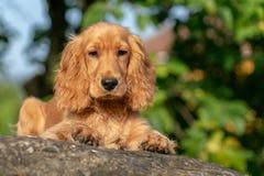 Retrato de cocker spaniel del perro de perrito en hierba fotografía de archivo