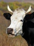 Retrato de comer a vaca Imagens de Stock