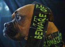 Retrato de Dia das Bruxas do cão de Brown fotos de stock