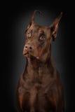 Retrato de Dobermann no fundo preto Fotografia de Stock