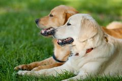 Retrato de dois cães novos da beleza Imagens de Stock Royalty Free