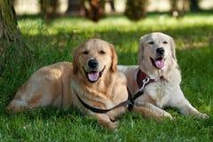 Retrato de dois cães novos da beleza Foto de Stock