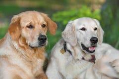Retrato de dois cães novos da beleza Imagem de Stock Royalty Free