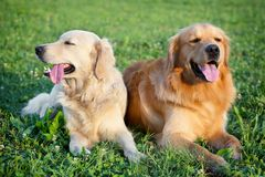 Retrato de dois cães novos da beleza Fotografia de Stock Royalty Free