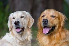 Retrato de dois cães novos da beleza Fotos de Stock