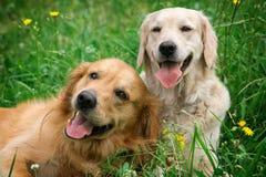 Retrato de dois cães novos da beleza Imagens de Stock