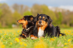 Retrato de dois cães-pastor australianos Fotografia de Stock