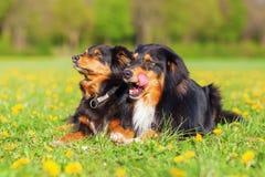 Retrato de dois cães-pastor australianos Imagem de Stock