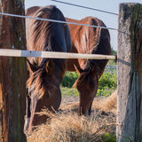 Retrato de dois cavalos Fotos de Stock