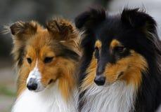 Retrato de dois collie Foto de Stock Royalty Free
